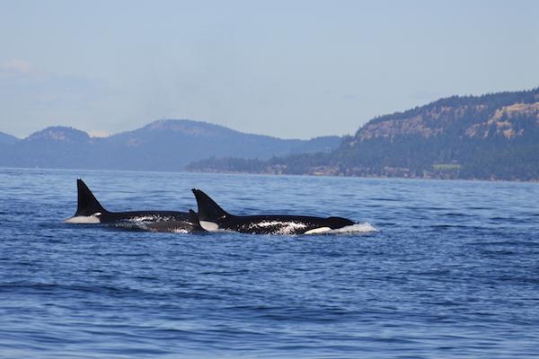 Orcas san juans island tour