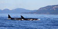 San Juan Islands Orca Whale Tour